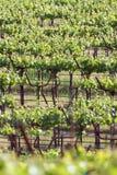 Sonoma Valley Vineyards Stock Photos