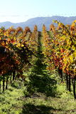 Sonoma vineyard. In the fall Royalty Free Stock Images