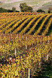 Sonoma Vineyard Rows. The rolling landscape of a Sonoma Valley, California vineyard Royalty Free Stock Photos