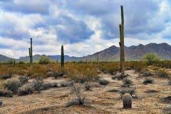 Sonoraöken Arizona Royaltyfri Foto