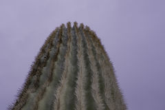 Sonora Cactus Close-up. Sonora cactus in Arizona desert at sundown.  They live to be 200-300 years old Royalty Free Stock Photos