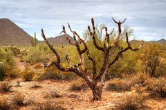 Sonora Desert. In central Arizona USA Royalty Free Stock Photography
