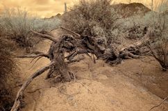 Dead tree in dry wash Infrared Sonora Desert Arizona. Sonora desert Dead tree in dry wash in Infrared central Arizona USA stock images