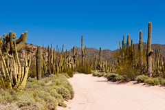 Sonora desert dusty road Organ Pipe NP Arizona US. Dusty road in Senita Basin of Organ Pipe National Monument, Arizona, USA, with typical Sonoran Desert Columnar Stock Photos