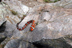 Sonora Mountain Kingsnake. This brightly colored and beautiful Sonora mountain kingsnake is crawling up a large rock Stock Image