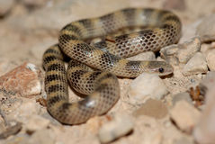 Sonora semiannulata. A ground snake photographed in western Texas. Sonora semiannulata is a highly variable species Stock Photo