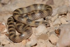 Sonora semiannulata. A small ground snake photographed in the evening near Big Bend National Park Stock Photography