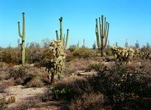 Sonora-Wüste Arizona lizenzfreies stockbild