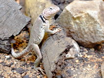 Sonoran collared lizard (Crotaphytus insularis) po Royalty Free Stock Photos