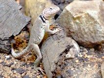 Sonoran collared lizard (Crotaphytus insularis) po. Sonoran collared lizard leaning against the bark among stones royalty free stock photos
