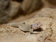 Sonoran collared lizard portrait. Sonoran collared lizard lying on the rock Stock Image