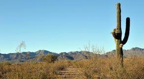 Sonoran Desert. Cactus in the Sonoran Desert in Tucson, Arizona stock photography