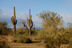 Sonoran desert. Tall saguaro cactus in the sonoran desert royalty free stock images