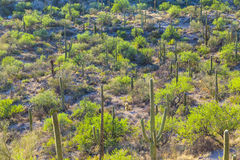 Sonoran Desert in Arizona Royalty Free Stock Image