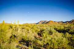 Sonoran Desert - Arizona. Rincon Mountains, Saguaro cactus, and sage bushes in the Sonoran Desert Stock Photo