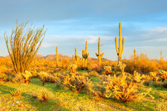 Sonoran Desert. Bathing in day's last sun rays Royalty Free Stock Photos
