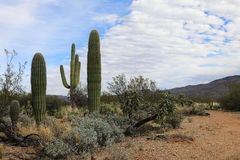 Sonoran desert on a beautiful clear day. The Sonoran desert on a beautiful clear day Stock Photo