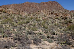 Sonoran Desert Beauty. The Sonoran Desert near Tucson Arizona provides magnificent views of Saguaro cacti among other desert flora, and dramatic mountain Royalty Free Stock Images