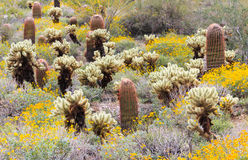 Sonoran Desert in Bloom Stock Image