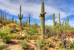 Sonoran Desert. Blooming Cholla and Ocotillo in Sonoran Desert, near Phoenix, AZ stock photos