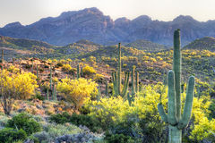 Sonoran Desert. Blooming Palo Verde's in Hewitt Canyon royalty free stock image