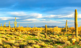 Sonoran Desert. Catching days last sunrays Royalty Free Stock Images