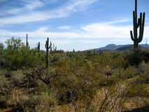 Sonoran Desert with Cati. Landscape of the Sonoran Desert near Phoenix with Saguaro Cacti stock photos