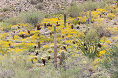 Sonoran Desert Hillside in Bloom. Springtime scene in the Sonoran desert with blooming wildflowers and various species of cacti, including Saguaros.  McDowell Royalty Free Stock Photography