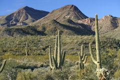 Sonoran Desert Landscape. Saguaro cacti and mountain peaks in the Sonoran Desert of Arizona stock image