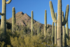 Sonoran Desert Landscape. A group of saguaro cacti in the Sonoran Desert of Arizona Royalty Free Stock Photo