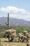 Sonoran Desert landscape with Carnegiea gigantea and  teddy bear Royalty Free Stock Photography