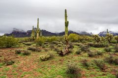 Desert landscape with mountains and Saguargo cactus. Sonoran desert landscape scene with snow covered mountains and Saguaro cacti royalty free stock photo