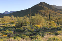 Sonoran Desert Mountains in Springtime. Mountains, cacti and blooming wildflowers in the McDowell Sonoran Preserve in Scottsdale, Arizona royalty free stock images