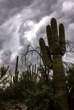 Sonoran Desert Saguaro Cactus in the Dimly Lit Morning With Storm Clouds. Saguaro and Oregon Pipe Cactus in the Sonoran Desert with menacing rainclouds overhead royalty free stock photo