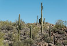 Sonoran Desert. Saguaro Cactus in the Sonoran Desert, central Arizona Stock Image