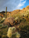 Sonoran desert. Saguaro (Carnegiea gigantea) and Cholla (Cylindropuntia spp.) cacti on a Sonoran desert hillside at sunset near Tucson, Arizona stock image
