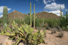 Sonoran Desert - Saguaro National Park, Arizona. Saguaro Cacti and Prickly Pear Cacti in the Sonoran Desert - Saguaro National Park, Arizona Stock Photo