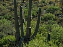 Sonoran Desert, Saguaro National Park. Saguaro Cactus in the Sonoran Desert, southern Arizona royalty free stock photography