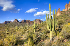 Sonoran Desert. Saguaros in Hewitt Canyon, Arizona royalty free stock photo