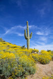 Sonoran Desert in Springtime. A wildflower bloom surrounds a saguaro cactus in the arizona desert in spring Stock Images