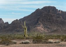 Sonoran Desert, striking scenery. Saguaro Cactus in the Sonoran Desert, central Arizona royalty free stock photography