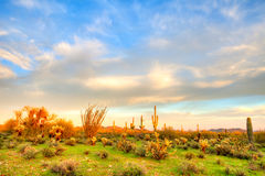 Sonoran Desert. At sunset Royalty Free Stock Photo