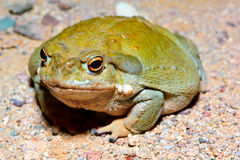 Sonoran Desert Toad 2. The giant Sonoran Desert Toad. This toad only comes out at night and is found mostly in Arizona during the Monsoon season. It is the Stock Photography