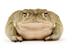 Sonoran Desert Toad. Large Sonoran Desert Toad with a small scar above his mouth, isolated on a white background Stock Photos
