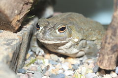 Sonoran desert toad Royalty Free Stock Photography