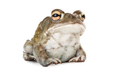 Sonoran Desert Toad. A cute Sonoran Desert Toad sitting against a white backdrop Stock Photography