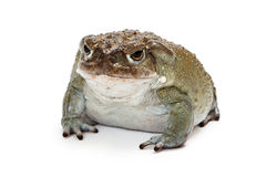 Sonoran Desert Toad Isolated on White. Incilius alvarius, also known as Colorado River Toad or Sonoran Desert Toad which has a venom that produces a a Stock Photography