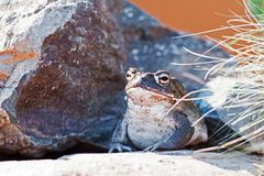 Sonoran Desert Toad On Rock. Sonoran Desert toad (Incilius alvarius) relaxing on rock Royalty Free Stock Photography