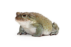 Sonoran Desert Toad Side View Stock Image
