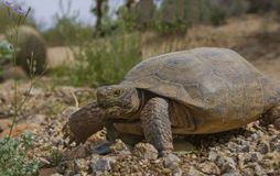 Sonoran desert tortoise in Arizona. Beautiful sonoran desert tortoise crawls across the desert rocks royalty free stock image